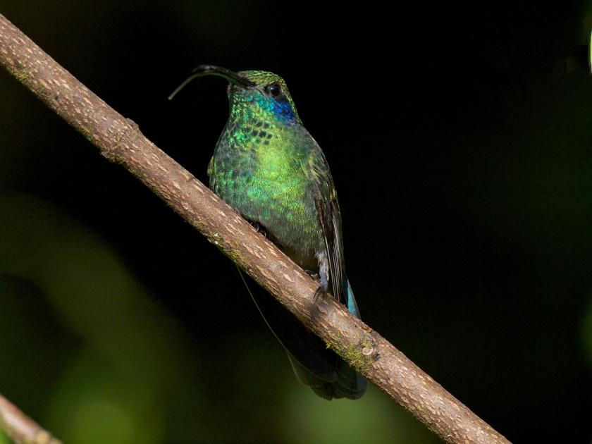 Green Violetear, Panama