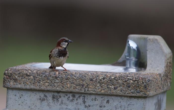 House Sparrow, Kauai