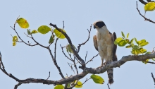 Laughing Falcon, Pantanal, Brazil