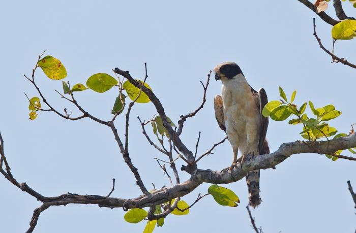 Laughing Falcon, Pantanal, Brazil