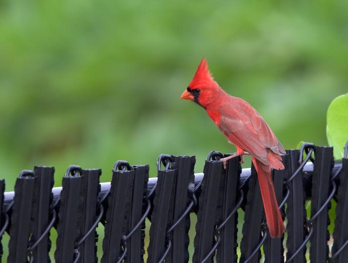 Northern Cardinal, Kauai