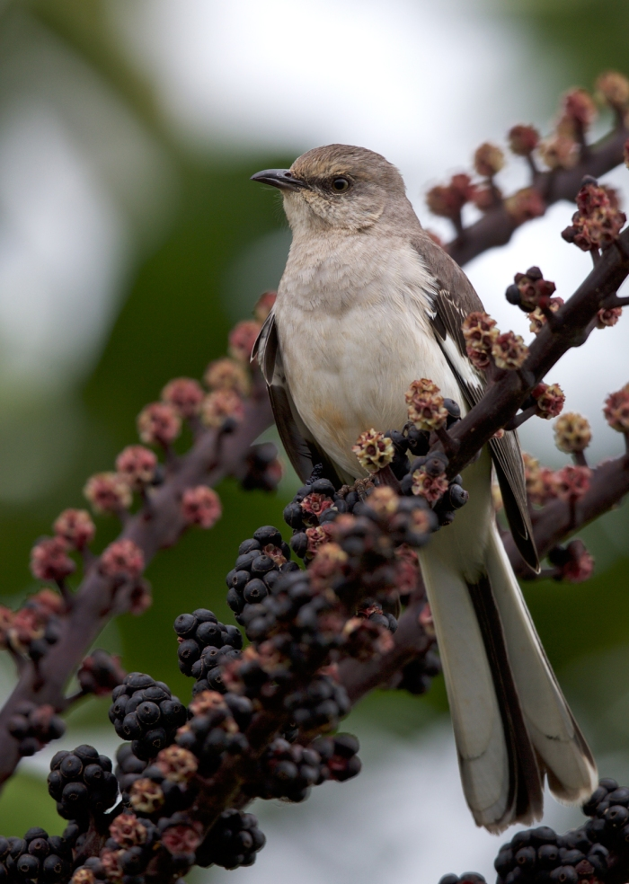 Northern Mockingbird, Kauai