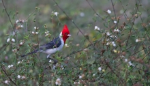 Red-crested Cardinal (aka Brazilian Cardinal) in its native habitat