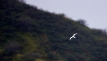 Fairy Tern in the distance against Diamond Ha, O'ahu, Hawai'ian Islands
