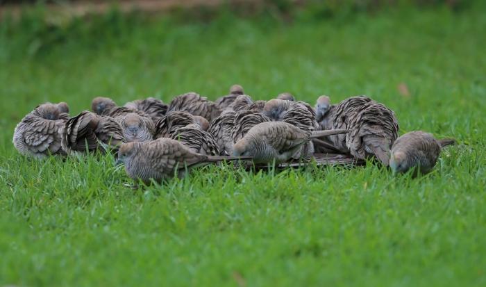 A scrum of Zebra Doves, Koke'e State Park, Kauai