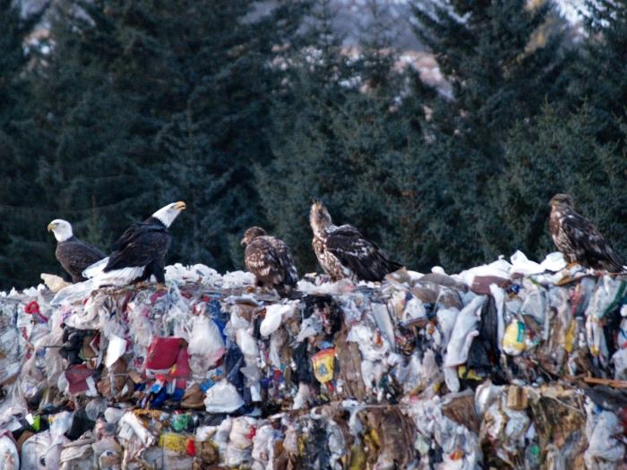 Bald Eagles, Kodiak, Alaska Landfill (one of the world's most scenic landfill locations)