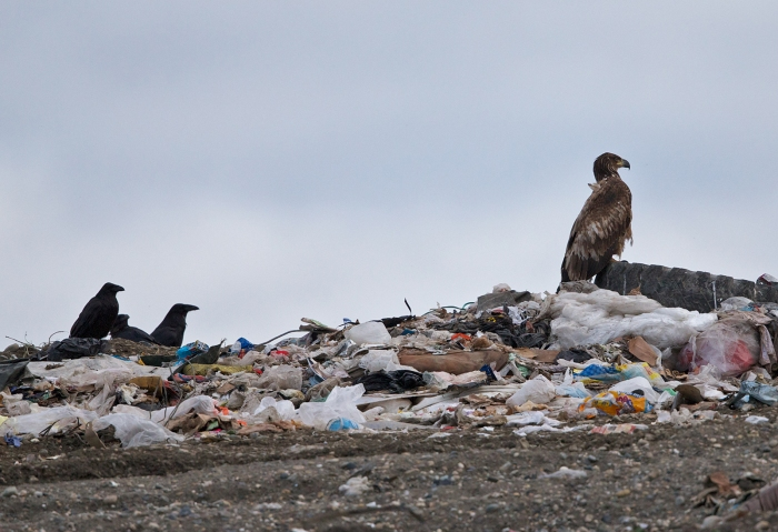 Ravens and subadult Bald Eagle, Fairbanks Landfill