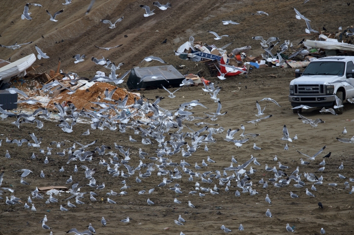 Ring-billed and California Gulls and a few American Crows, Ada County Landfill, Idaho