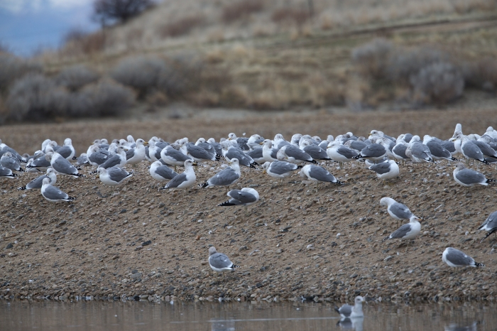 California Gulls, Ada County Landfill, Idaho