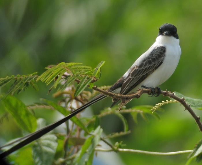 Fork-tailed Flycatcher, Dangriga Unsanitary Landfill, Belize