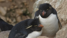 Rockhopper Penguin couple, New Island, Falkland Islands