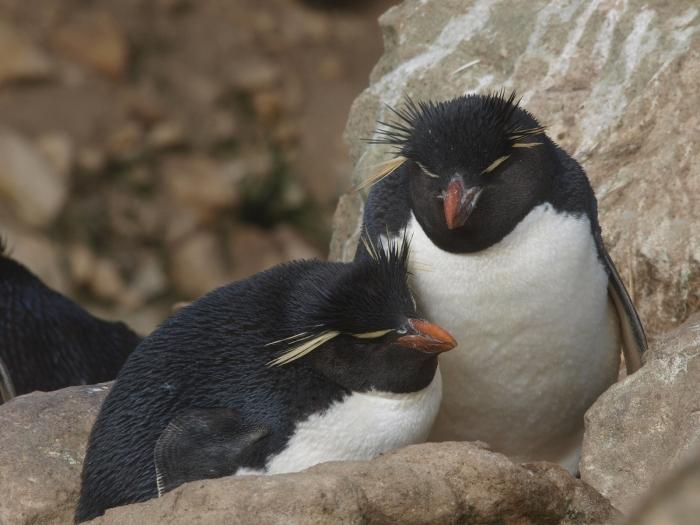 Rockhopper Penguin couple, New Island, Falkland Islands