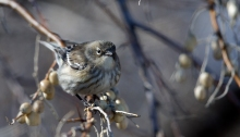 Yellow-rumped Warbler, CJ Strike Reservoir, Idaho