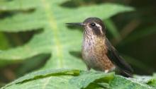 Speckled Hummingbird, Tandayapa Lodge. Ecuador