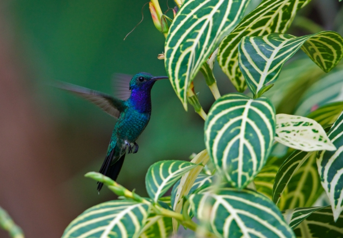 Sapphire-throated Hummingbird, Darién, Panama