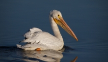 American White Pelican, Thousand Springs WMA, Idaho