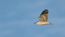 Black-crowned Night Heron headed to the rookery; Snake River Canyon, Idaho