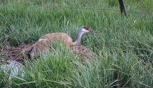 Sandhill Crane Nest, Southcentral Idaho