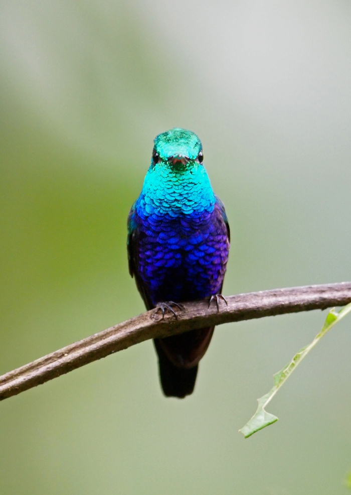 Violet-bellied Hummingbird, West Slope of the Andes, Ecuador