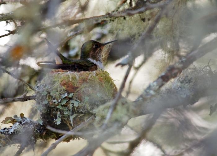 Female Volcano Hummingbird on eggs, Costa Rica