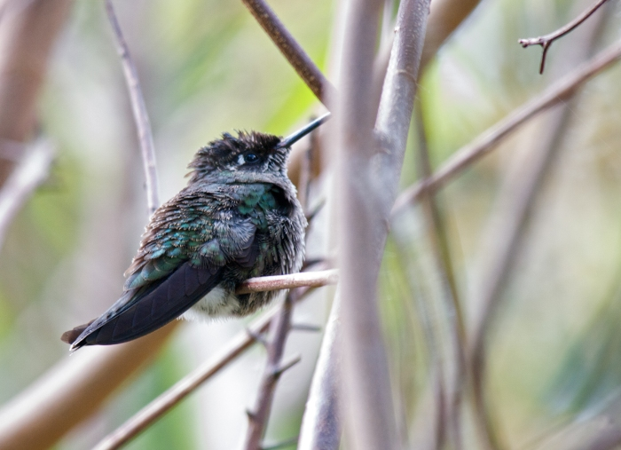 Volcano Hummingbird defending territory, Costa Rica