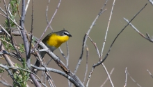 Yellow-breasted Chat, Blacks Creek, Idaho