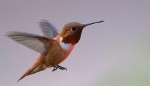 Rufous Hummingbird, Sawtooth National Recreation Area, Idaho