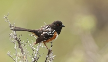 Spotted Towhee, Cecil Andrus WMA, Idaho