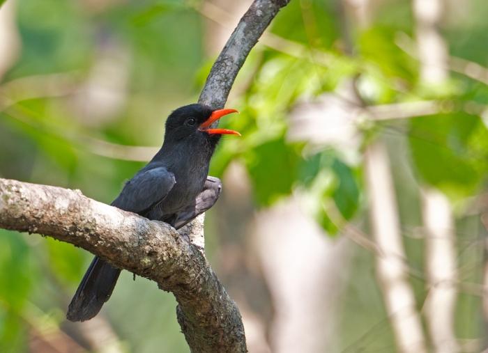 Black-fronted Nunbird, Easter Peru