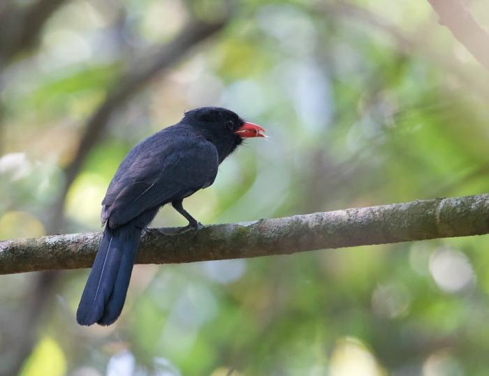 Black-fronted Nunbird, Easter Ecuador