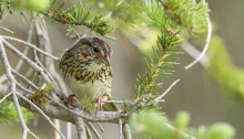 Lincoln Sparrow, Bull Trout Lake, Idaho