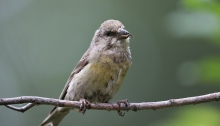 Red Crossbill Fledgling, viewed straight on, Valley County, Idaho (full trame)
