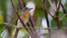 Gray-cheeked Nunlet, Darién Province, Panama