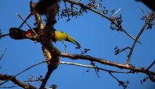 Keel-billed Toucan, Metropolitan Park, Panama City, Panama
