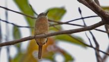 Barred Puffbird. Darién Province, Panama