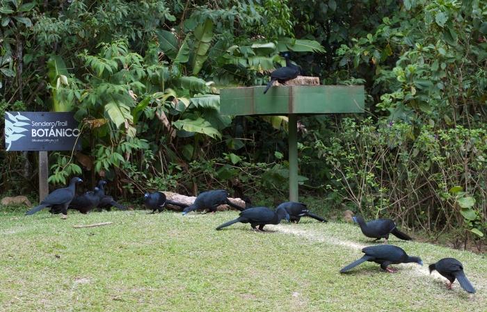 Black Guan, Costa Rica