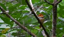Collared Puffbird, Manu Road, Peru