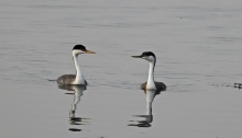 Western Grebe Adult and Juvenile, Mormon Reservoir, Camas County, Idaho