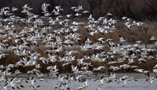 Snow Geese, Fort Boise WMA, Idho